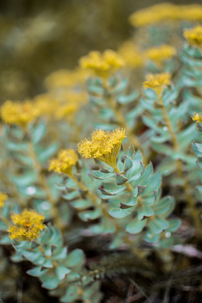 Rhodiola Rosea Root Health Benefits are limitless