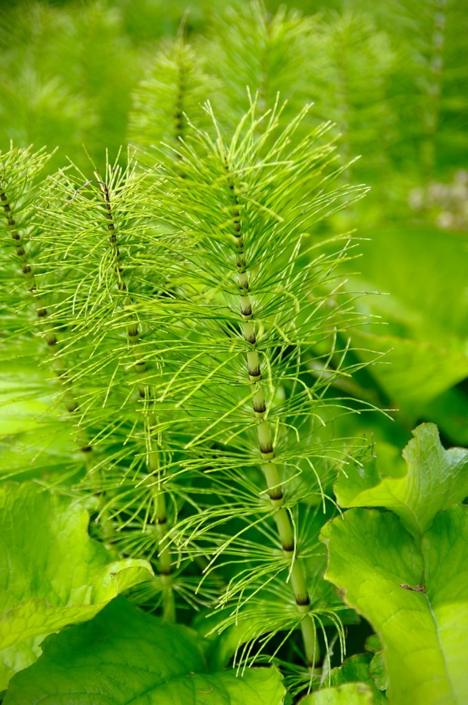 Equisetum arvense contains silica and has 8 benefits